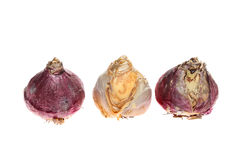 Hyacinth bulbs Stock Images