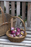 Hyacinth bulbs in a basket Royalty Free Stock Images
