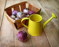 Hyacinth bulbs in a basket on a wooden table Royalty Free Stock Images