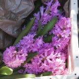 Hyacinth bulbs in ceramics pot Stock Photography