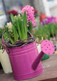 Hyacinth bulbs flowering Royalty Free Stock Photo