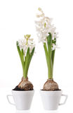 Hyacinth bulbs and flowers Royalty Free Stock Image