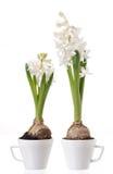 Hyacinth bulbs and flowers Royalty Free Stock Image