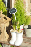 Hyacinth bulbs. In a pot.Spring concept Royalty Free Stock Photos