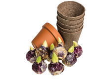 Hyacinth bulbs with pots to plant Royalty Free Stock Photos