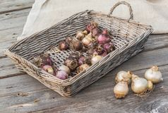 Hyacinth bulbs in a   basket Royalty Free Stock Image