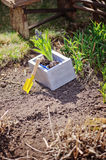 Hyacinth bulbs in wooden box with shovel on garden bed in sunny spring day Royalty Free Stock Photography