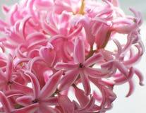 Hyacinth Royalty Free Stock Photography