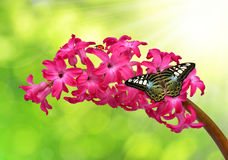 Hyacinth with butterfly. On natural green background Stock Photo