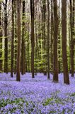 Hyacinth Carpet Royalty Free Stock Images