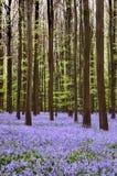 Hyacinth carpet Royalty Free Stock Images