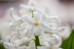 Hyacinth Close bianco Fotografia Stock