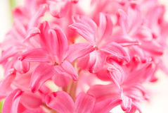 Hyacinth close up Royalty Free Stock Image