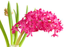 Hyacinth close up Royalty Free Stock Photography