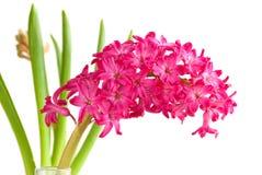 Hyacinth close up. Pink hyacinth close up image Royalty Free Stock Photography