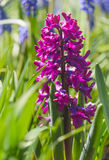 Hyacinth. Close up of purple hyacinth `Woodstock` in nature Royalty Free Stock Images