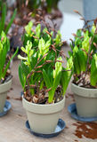 Hyacinth composition Stock Images
