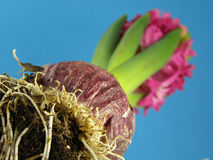 Hyacinth cor-de-rosa imagens de stock