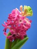 Hyacinth cor-de-rosa imagem de stock royalty free