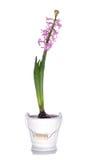 Hyacinth cor-de-rosa Foto de Stock