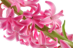 Hyacinth cor-de-rosa Imagens de Stock Royalty Free