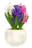 Hyacinth cor-de-rosa, azul e branco no potenciômetro Foto de Stock Royalty Free