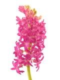 Hyacinth cor-de-rosa com haste Imagens de Stock Royalty Free