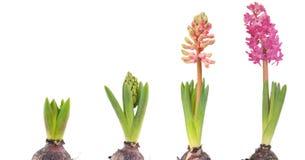 Hyacinth cor-de-rosa crescente Fotografia de Stock Royalty Free