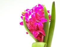 Hyacinth cor-de-rosa de florescência em um fundo branco Imagens de Stock Royalty Free