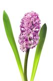 Hyacinth cor-de-rosa isolado Imagens de Stock