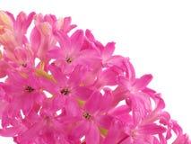 Hyacinth cor-de-rosa no branco Fotos de Stock