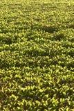 Hyacinth de água Imagem de Stock Royalty Free