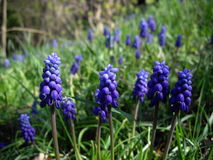 Hyacinth de uva Foto de Stock