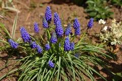 Hyacinth de uva Imagem de Stock