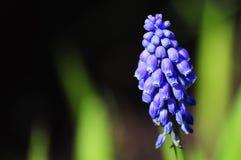 Hyacinth de uva Imagens de Stock Royalty Free