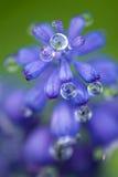 Hyacinth de uva Imagens de Stock