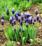 Hyacinth de uva azul e cor-de-rosa foto de stock