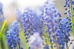 Hyacinth de uva (Muscari) Foto de Stock Royalty Free