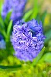 Hyacinth Delft Blue a fleuri sur un parterre Photo stock