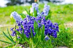 Hyacinth Delft Blue floresceu em um canteiro de flores Foto de Stock Royalty Free