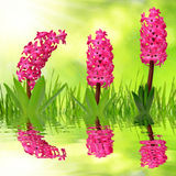 Hyacinth with dewy grass Stock Images