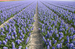 Hyacinth field Stock Photography
