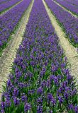 Hyacinth field. Spring flowers stock images