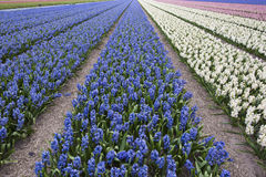 Hyacinth field Royalty Free Stock Photos