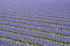Hyacinth Field Color Purple Stockbild