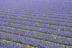 Hyacinth Field Color Purple Stock Image