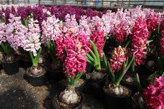 Hyacinth. Field of colorful spring flowers hyacinths plants  in greenhouse on sunlight  for sale. Background texture photo of hyac Stock Image