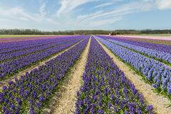 Hyacinth Field Colors Royalty Free Stock Images