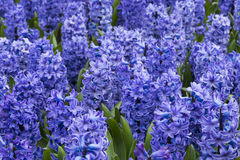 Hyacinth Field Detail púrpura Imagen de archivo libre de regalías