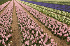 Hyacinth field Royalty Free Stock Images